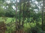 ขายด่วน  ! !! ! ที่สวนติดถนน 5 ไร่เศษ พร้อมต้นสัก ต้นยูคา บ้านสะอาง ขุขันธุ์ ศรีสะเกษ