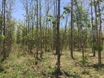 ขายที่ดินพร้อมต้นไม้สัก ตั้งอยู่ อ. ห้างฉัตร อ. ลำปาง | REAESTATE-00477