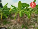 ที่ดินพร้อมสวนกล้วยน้ำว้า เนื้อที่ 2 ไร่ แสวงหา อ่างทอง